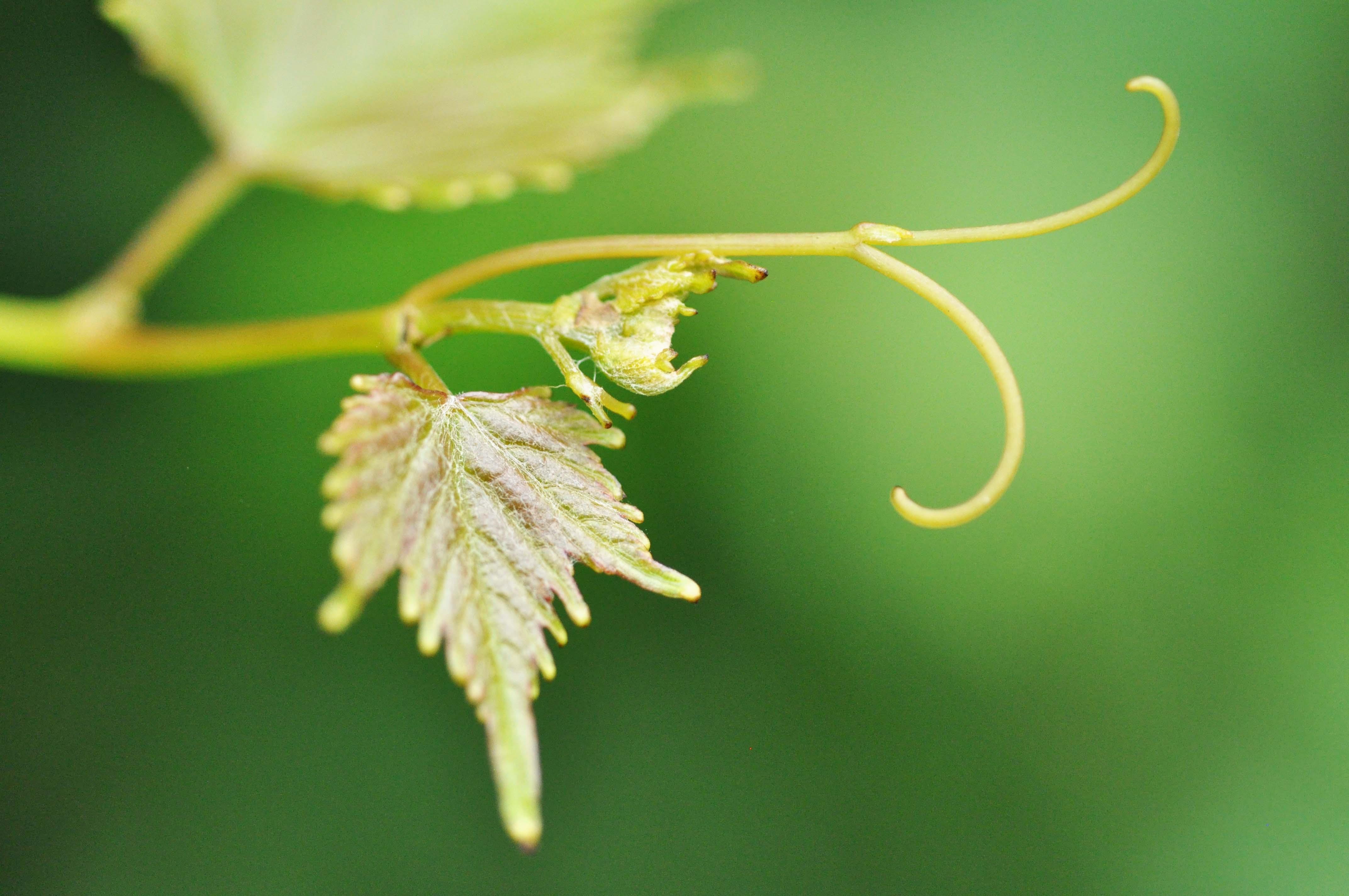 inspiration marie gonon - feuilles de vigne naissante